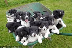 Pups in wheelbarrow